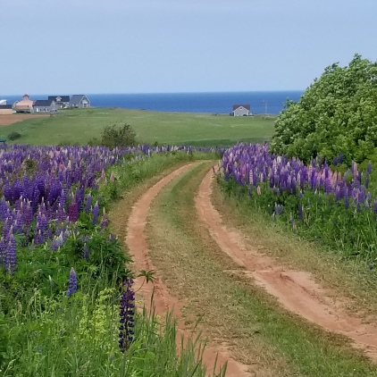 The windy driveways lined with Lupin as you head to your cottage