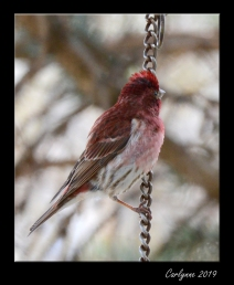 Redpoll Finch - Checking out the view