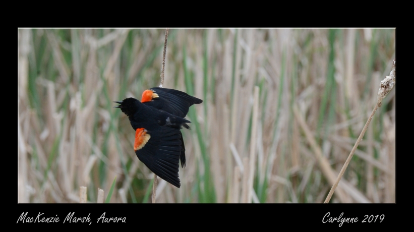 Mating season for the red wing blackbird